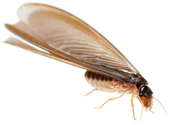 termite treatment species melbourne