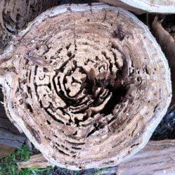 termite specialist - termites causing tree fall